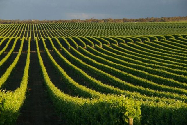 Vineyard in the Coonawarra region, near Mt Gambier. Image: ABC